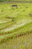 Farmer Leaving Tiny Shack in Rice Paddy Fields Laid in Shallow Terraces Photographic Print by Annie Owen