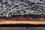 Lesser Snow Geese (Chen Caerulescens Caerulescens) in Flight at Sunrise Photographic Print by Richard Maschmeyer