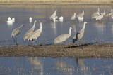 Greater Sandhill Cranes (Grus Canadensis Tabida) Grey Color Photographic Print by Richard Maschmeyer