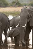 African Elephant (Loxodonta Africana), Okavango Delta, Botswana, Africa Photographic Print by Sergio Pitamitz