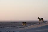 Black-Backed Jackals (Canis Mesomelas), Skeleton Coast, Namibia, Africa Fotografisk tryk af Thorsten Milse