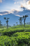 Sunrise over Tea Plantations, Haputale, Sri Lanka Hill Country, Sri Lanka, Asia Photographic Print by Matthew Williams-Ellis