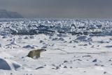 Polar Bear (Ursus Maritimus) on Pack Ice, Spitsbergen, Svalbard, Norway, Scandinavia, Europe Photographic Print by Thorsten Milse