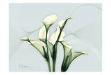 Calla Lily Prints by Albert Koetsier