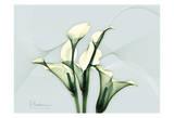 Calla Lily Prints by Albert Koetsier