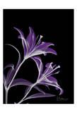 Lila Viejo (Purple Lily) Poster di Albert Koetsier