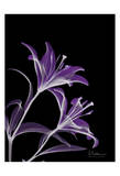 Purple Lily Posters by Albert Koetsier