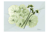Geranium Prints by Albert Koetsier