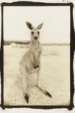Cute Roo, Australia Fotografisk tryk af Theo Westenberger