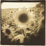 Sunflowers, Spain Reproduction photographique par Theo Westenberger
