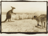 T Rex Roos, Australia Photographic Print by Theo Westenberger