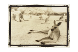 Kangeroo Reclining, Australia Photographic Print by Theo Westenberger