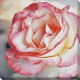 Pink Petal Rose Canvas with Glitter Stretched Canvas Print