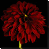 Black / Red Dahlia Canvas Stretched Canvas Print