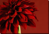 Red Dahlia Canvas Stretched Canvas Print