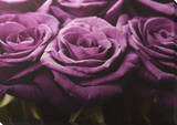 Plum Roses Row Canvas Stretched Canvas Print