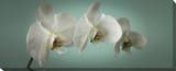 Teal Orchid Canvas Gallery Wrapped Canvas