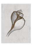 Channelled Whelk Prints by Bert Myers