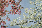 Dogwood Art by Donna Geissler