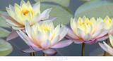 Lotus Panorama Prints by Diego Ceja