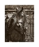 Arabian Working Cow Horse Giclee Print by Barry Hart
