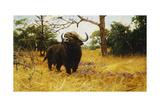 A Kaffir Buffalo in Prairie Grass Giclee Print by Wilhelm Kuhnert