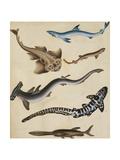 Studies of Fish Including Shark, Pikefish, Carp and Gillhead Giclee Print by Sydenham Teast Edwards