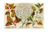 Illustration of Hydrangea Bloom Giclee Print