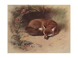 Canis Vulpes: the Fox Giclee Print by Archibald Thorburn
