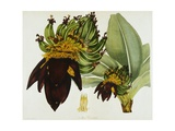 Musa Cavendishii Giclee Print by William Curtis
