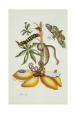 Maniok Illustration from the Little Book of Wonders of the Tropics Giclee Print