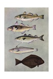 Illustration of Five Varities of Food Fishes Giclee Print