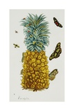 Pineapple Illustration from the Little Book of Wonders of the Tropics Giclee Print