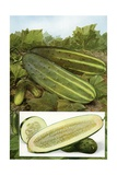 Illustration of Cucumbers on the Vine Giclee Print