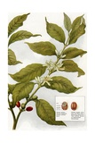 Illustration of Coffe Plant with Berries Giclee Print