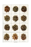 Illustration of Twelve Varieties of Coffee Beans Giclee Print