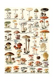 Illustration of Edible and Poisonous Mushrooms Giclée-tryk