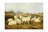 Sheep in a Meadow Reproduction procédé giclée par James Charles Morris