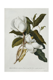 Magnolia Reproduction procédé giclée par Georg Dionysius Ehret