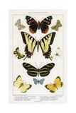 American Butterflies Giclee Print by Julius Bien