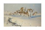 A Snow Leopard Stalking Ovis Poli Giclee Print by Joseph Wolf