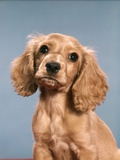1980s Cute Cocker Spaniel Puppy Looking at Camera Photographic Print