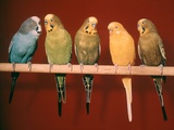 1970s Five Pet Parakeets Perched Against Red Background Photographie