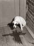 1950s Sad Dog in Corner Ashamed House Training Accident Wooden Floor Photographic Print