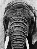 Face of an Elephant Photographic Print