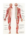 Illustration of the Brain, Spinal Cord and Nerves of the Human Male - Giclee Baskı