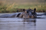 Hippopotamus in River Photographic Print
