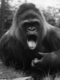 Open-Mouthed Gorilla Photographic Print
