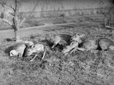 Young Deer Lay in a Field in Belgium, Ca. 1900 Photographic Print