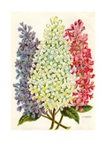 Illustration of Pink, White and Lavender Lilac Blooms Giclee Print